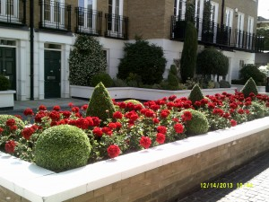 Summer Geraniums to add colour